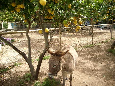 donkey and lemon trees